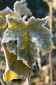 Frozen grape leaf — Stock Photo