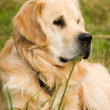Golden Retriever lying on green grass — Stock Photo