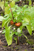 Red peppers growing in garden — Stock Photo