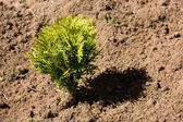 Small thuja in dry soil — Stock Photo