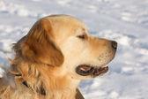 Retriever dourado na neve branca — Foto Stock