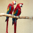 Two red macaw parrot — Stock Photo