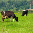 Two cows grazing on meadow — Stock Photo #41945351