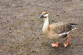Goose anser cygnoides — Stock Photo