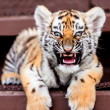 Royalty-Free Stock Photo: Baby tiger portrait