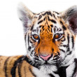 Baby tiger portrait - Stock Photo