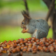 Photo of squirell eating nut — Stock Photo