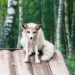 Photo of white fox - Stock Photo