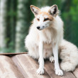 Stock Photo: Photo of white fox