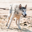 Photo of husky dog - Stock Photo