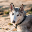 Photo of husky dog — Stock Photo