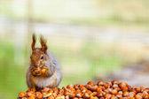Zdjęcie wiewiórki opowiadajacego jedzenie orzechów — Zdjęcie stockowe