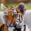 Stock Photo: Baby tiger portrait