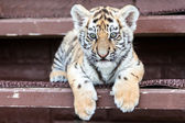 Baby tiger portrait — Stock Photo
