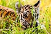 Baby tiger portrait — Stock Photo