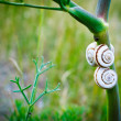 Snails in the grass — Stock Photo