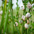 Stock Photo: Snails in grass