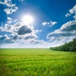 Stock Photo: Green meadow of wheat. Composition of nature.