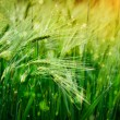 Spikelets of oats in the field — Stock Photo #37049783