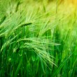 Stock Photo: Spikelets of oats in the field