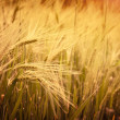 Spikelets of oats in the field — Stock Photo #37049793