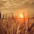 Sunset in a wheat field — Stock Photo