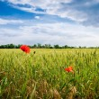 Poppies in a wheat field. Composition of nature — Stock Photo #37049907