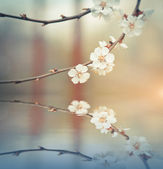 Blossoming branch on defocused light background — Stock Photo