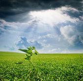 Kiełki słonecznika na polu — Zdjęcie stockowe