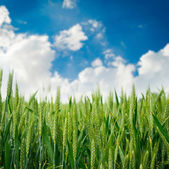 Spikelets of oats in the field — Stock Photo