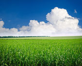 Green meadow of wheat. Composition of nature. — Stock Photo