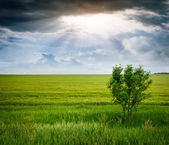 Tree in a wheat field, the composition of nature — Stock Photo
