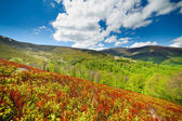 Blueberry bushes grow on the slopes of the Carpathian Mountains. — Stock Photo