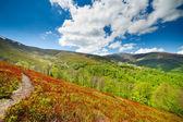 Blueberry bushes grow on the slopes of the Carpathian Mountains. — Stock Photo