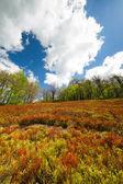 Blueberry bushes grow on the slopes of the Carpathian Mountains. — Foto de Stock