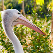 Australian pelican in wild nature — Foto Stock