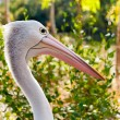 Australian pelican in wild nature — Photo