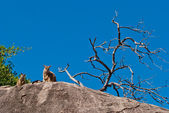 Rock wallaby, Magnetic Island, Australia — Stock Photo