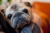 Cute old pug taking hugs — Stock Photo