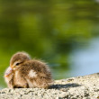 Red-crested pochard chick — Stock Photo