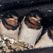 Swallows offspring in a nest — Stock Photo