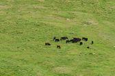 Wild cows herd — Stock Photo