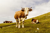 Funny cow looking at you — Stock fotografie