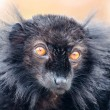 Black lemur (Eulemur macaco) — Stock Photo #34810309