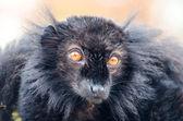 Black lemur (Eulemur macaco) — Stock Photo