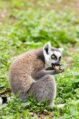 Lemur catta eating — Stock Photo