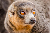 Mongoose lemur (Eulemur mongoz) — Stock Photo