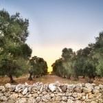 Puglia, Italy, Olive trees — Stock Photo #51670447