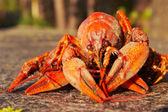 Crawfish — Stockfoto