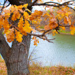 Oak tree in front of river — Stock Photo #13556197